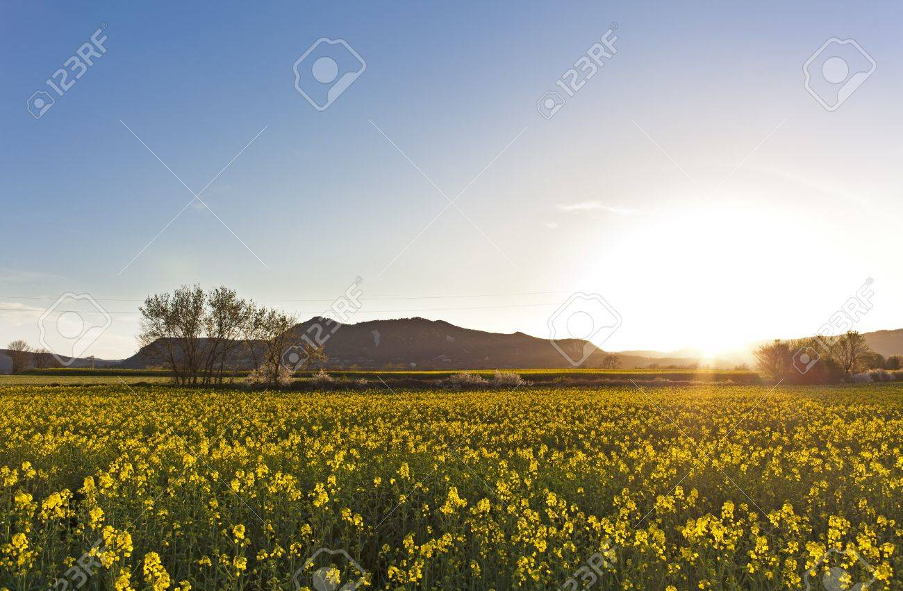 Spring Landscape With A Field Of Yellow Flowers At Sunset Stock
