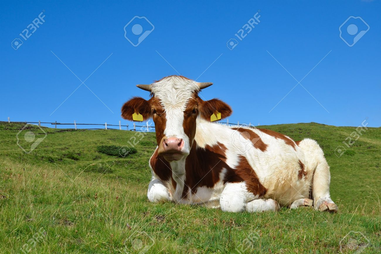 lying cow on a high mountain pasture in Alps, Italy - 15328911