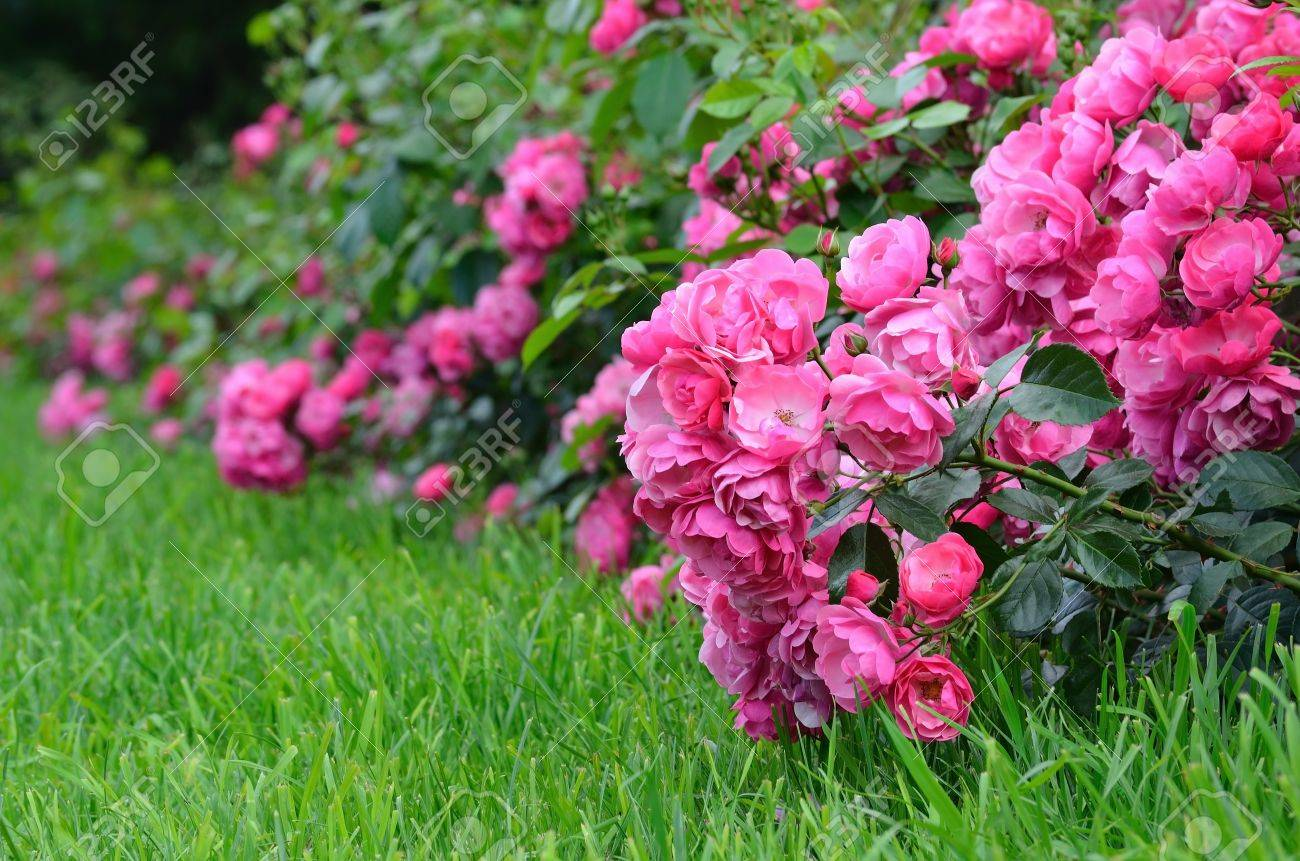 Flowering pink roses in the garden, Shallow depth of field - 15716660
