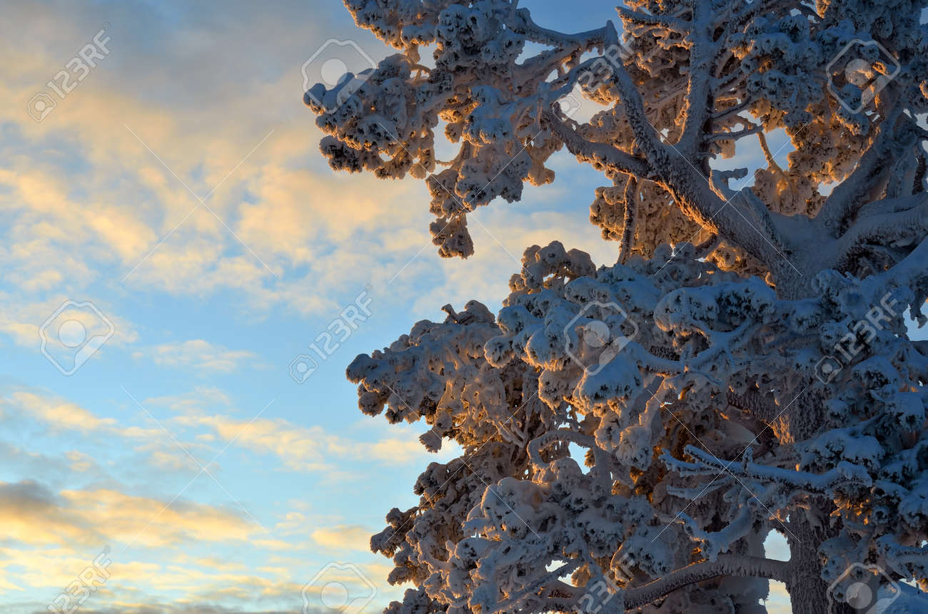 Tree with branches covered with snow in sunset light. Beautiful winter in Lapland - 160984386