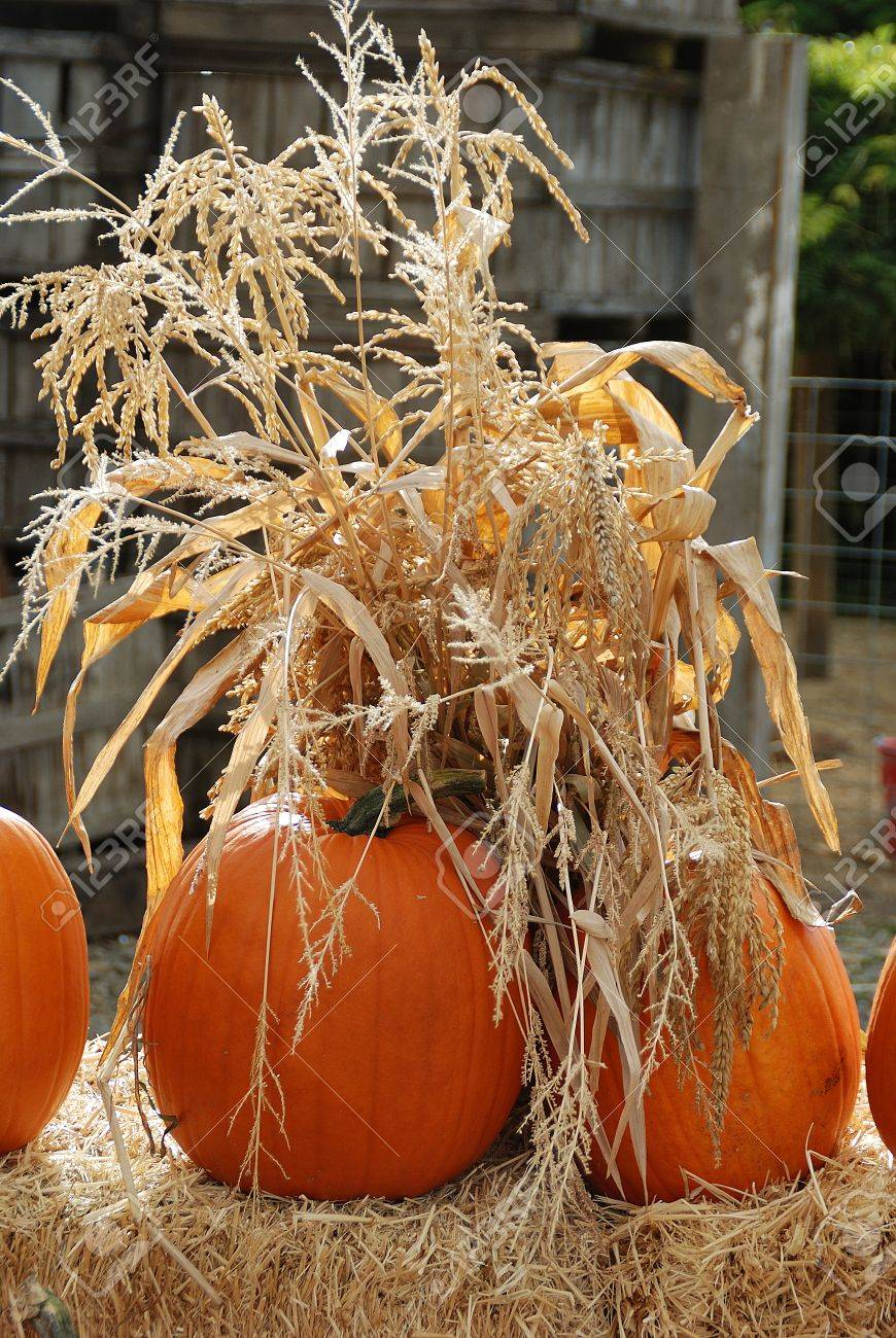 pumpkins and corn stalks halloween scenes found outside of a country farm jacksonville highway near - Halloween Corn Stalks