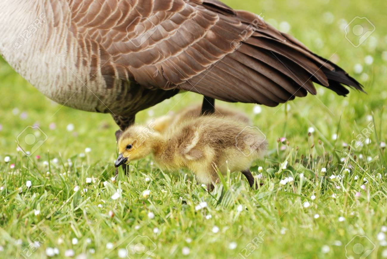 Goslings feeding in the grass. Canada Geese, Branta canadensis, at the Stewart Park Duck Pond in Roseburg OR off of Garden Valley Blvd. during the early spring Stock Photo - 18809749