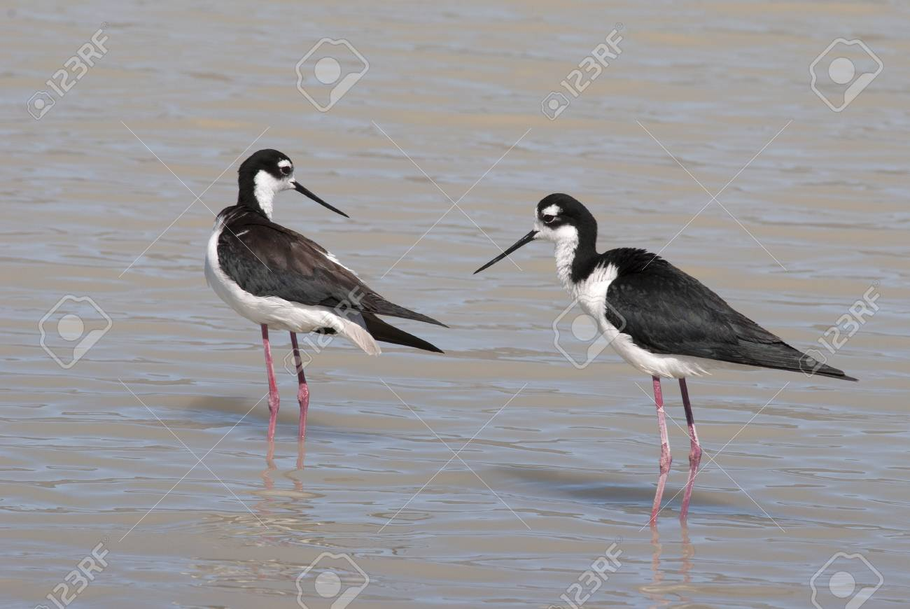 Black-necked Stilt, Himantopus mexicanus, Family Recyrvuristrudae,