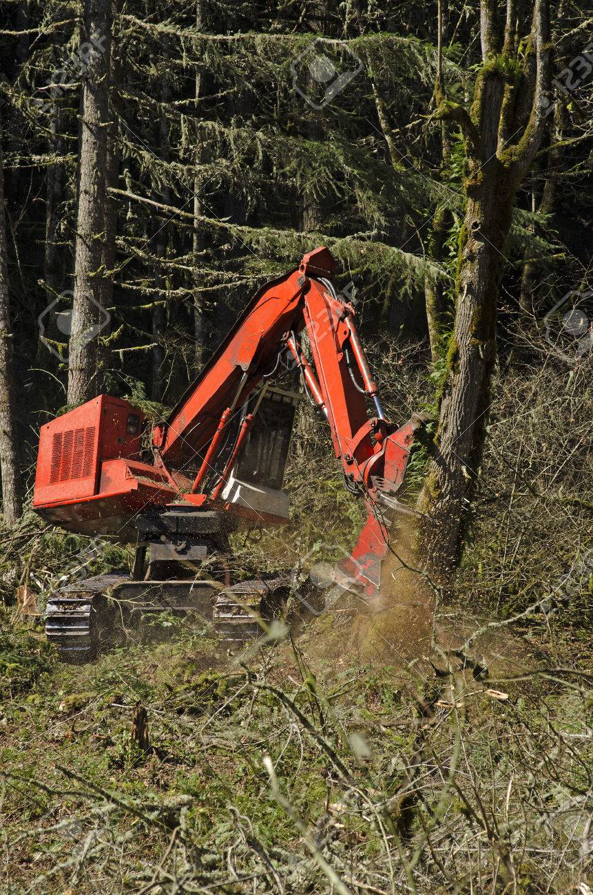 Track mounted forestry feller buncher cutting down down fir trees