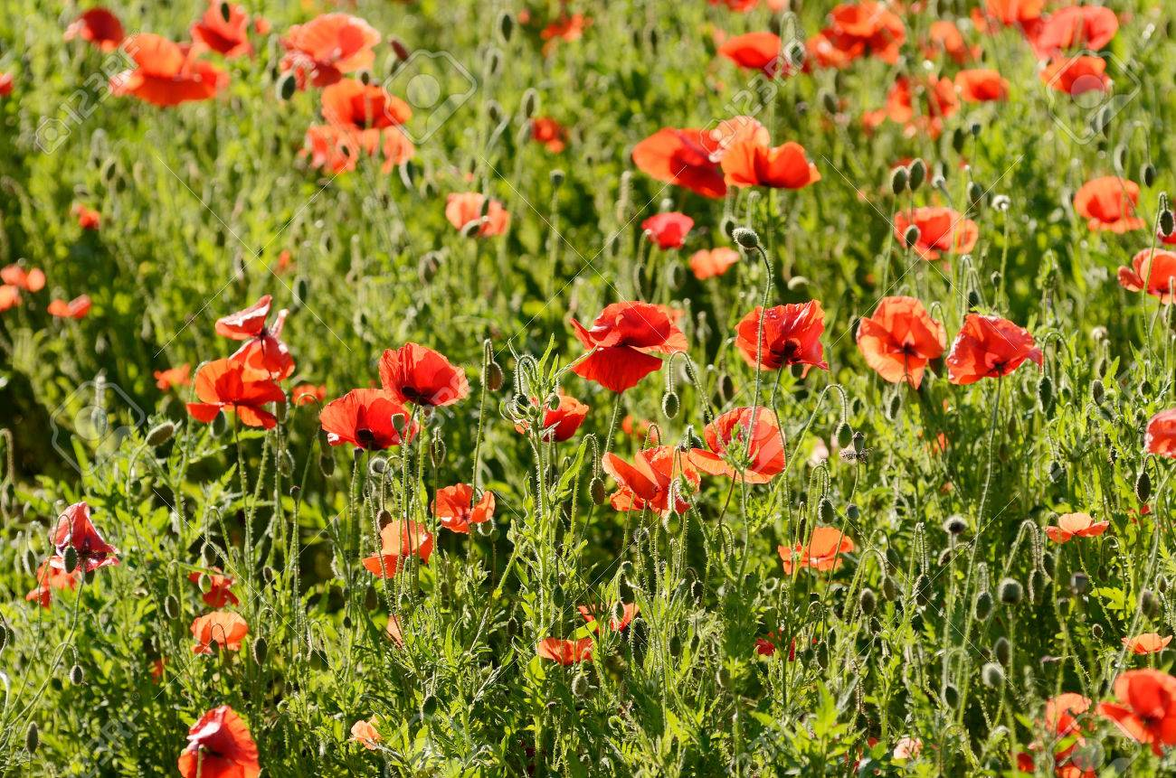 large field of red poppy flowers in the willamette valley of