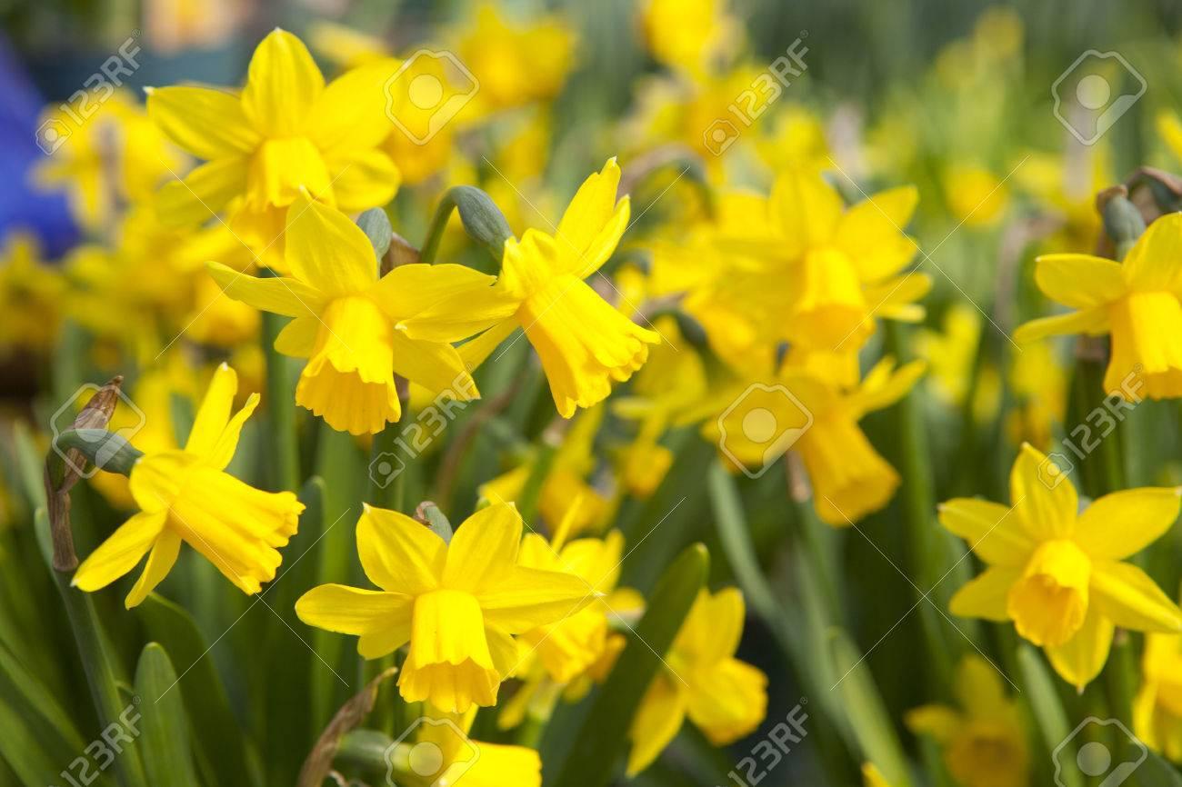 Jardin De Hermosos Narcisos Amarillos Las Flores Del Narciso Fotos - Narcisos-amarillos