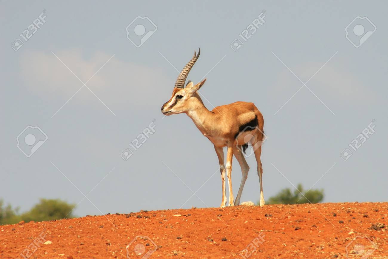 Gazelle standing on the hill in safari park, Israel. Stock Photo - 11056139