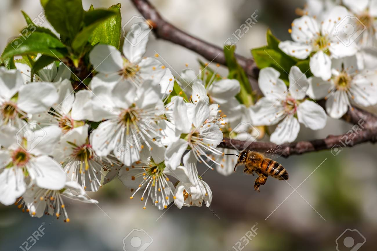Bee Flies Towards White Flowers On Flowering Trees To Collect