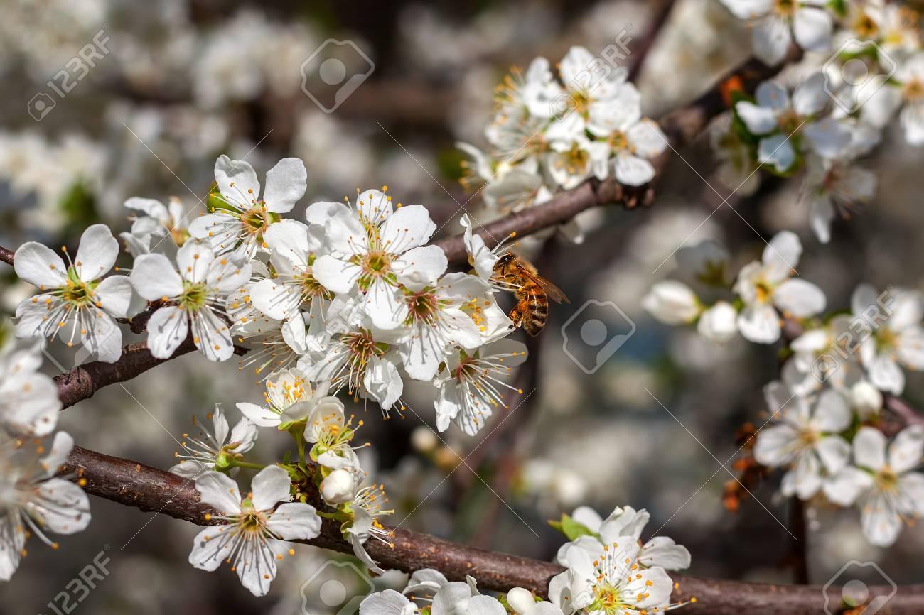 Abeille Recueille Le Pollen De La Fleur Blanche Sur L Arbre A Fleurs