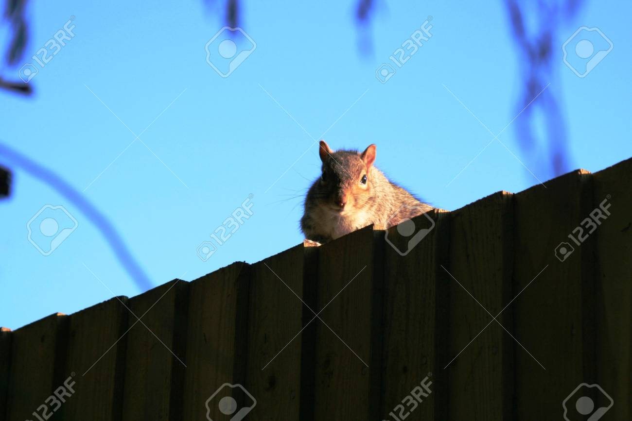 Squirrel peeing over top of fence Stock Photo - 4605110