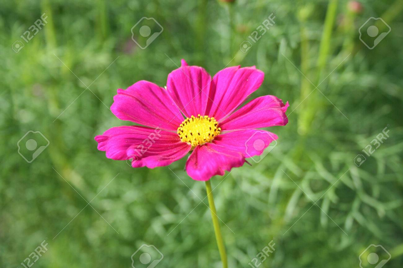 Dark Pink Cosmos Flower Stock Photo Picture And Royalty Free Image