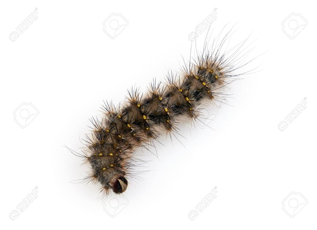 Black caterpillar hairy
