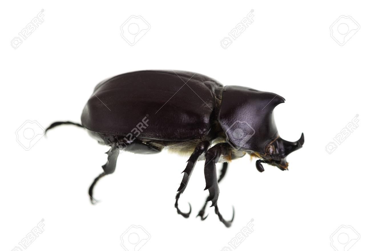 Immagini Stock Lo Scarabeo Rinoceronte Maschio Chiamato Anche Xilotrupes Ulisse E Un Insetto Che Vive Di Sostanze Vegetali In Decomposizione Image 72828500