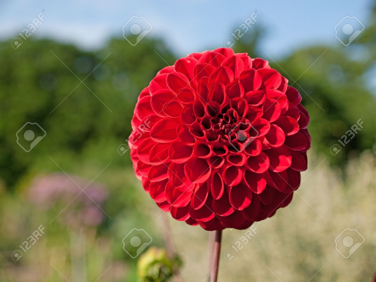 Close Up Of Single Red Dahlia Flower Stock Photo Picture And Royalty Free Image Image 7606845