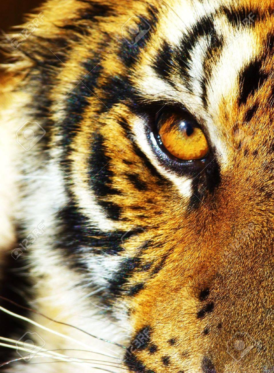 Jungle Tiger - 17872314