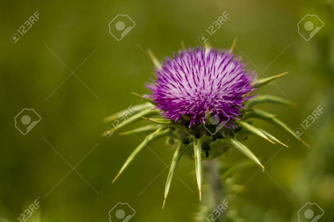 The Thistle The National Symbol Of Scotland Royalty Free Fotografie