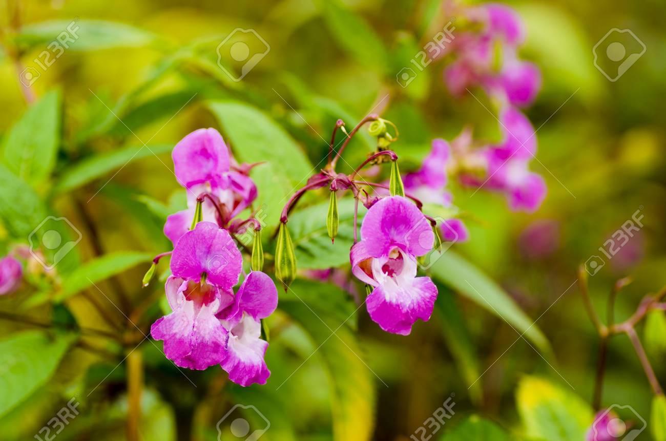 Fiori Selvatici Foto E Nomi policemans casco o impatiens glandulifera conosciuto anche con altri nomi  gnomi hatstand è un fiore selvatico trovato intorno molte rive del fiume e