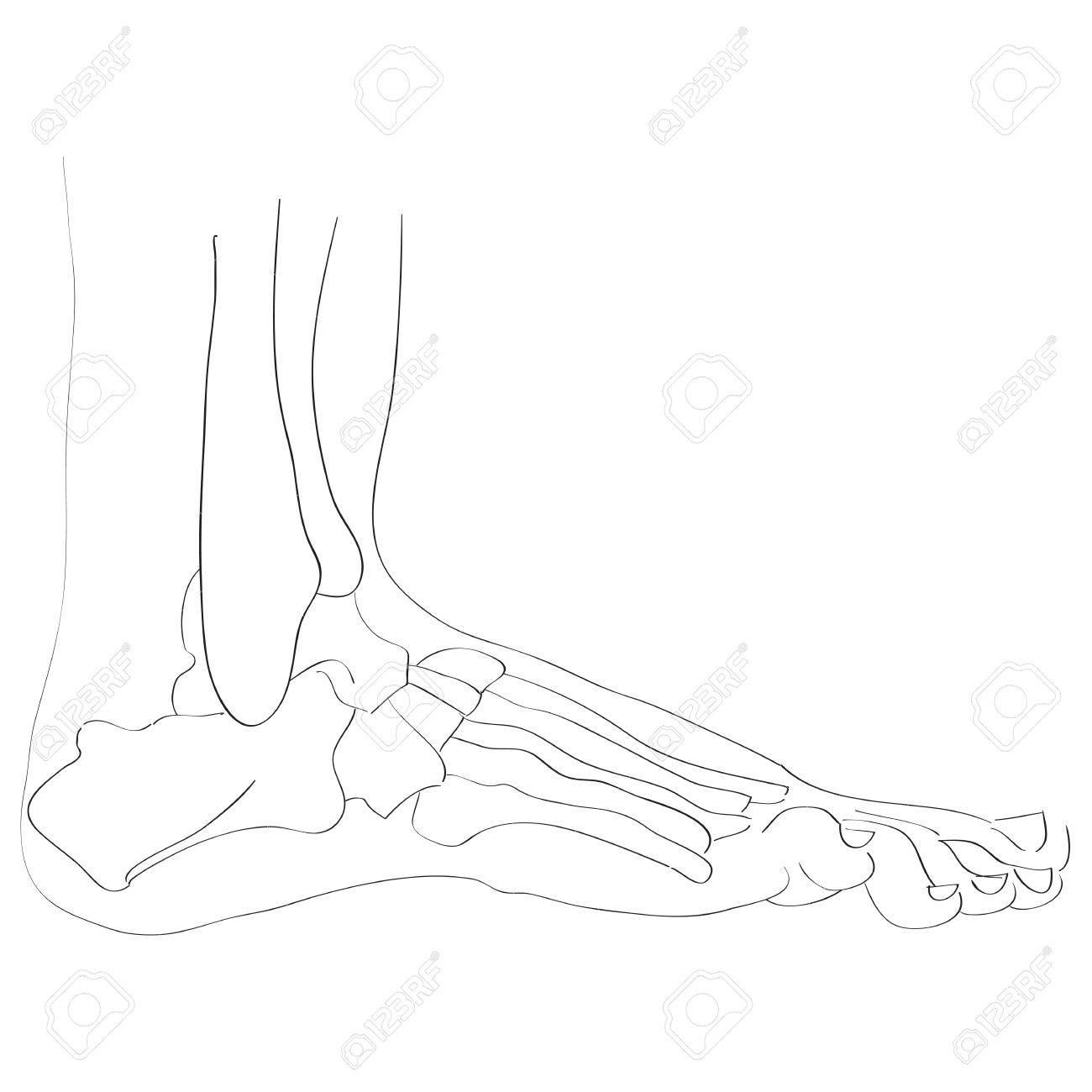 Darstellung der Fußknochen isoliert auf weiß, künstlerisch Anatomie  Grafik-Studie