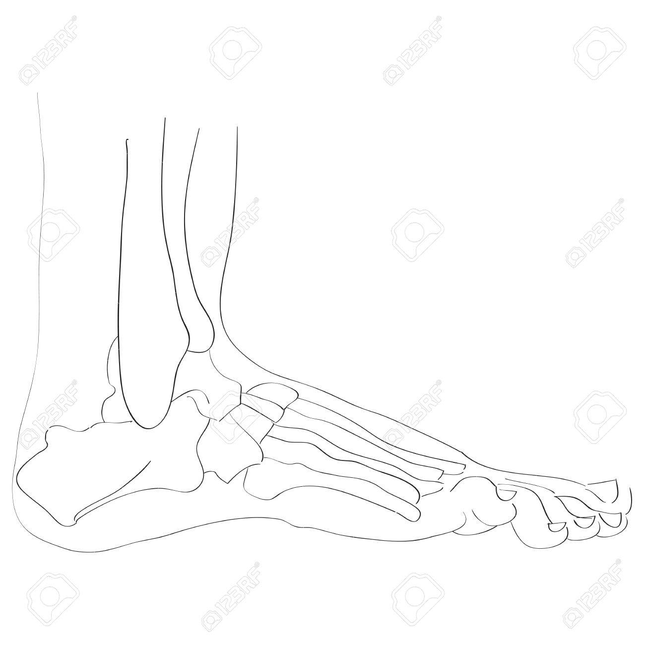 Illustration Of The Foot Bones Isolated On White, Artistic Anatomy ...