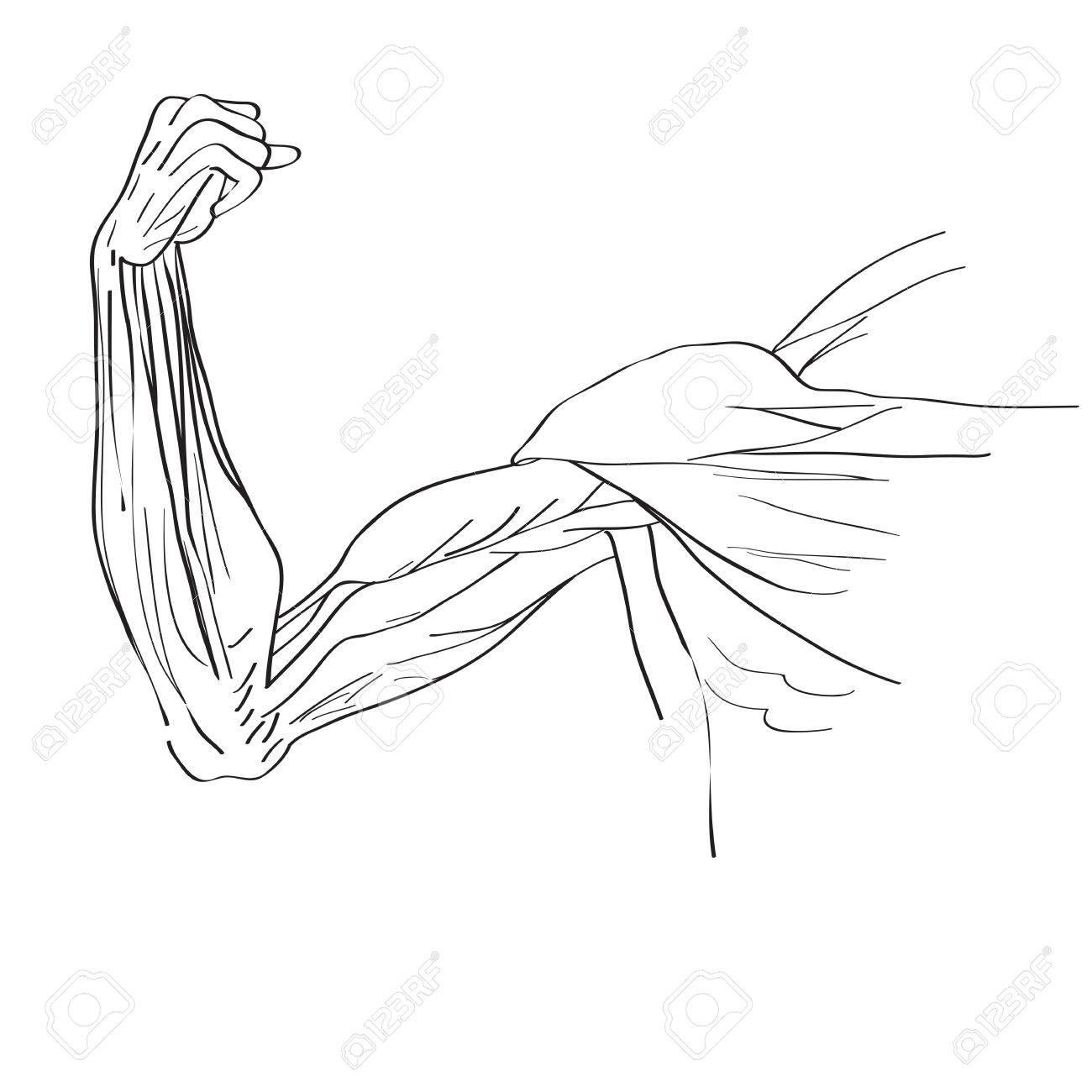 Ilustración De Los Músculos De Los Brazos, El Estudio Gráfico De ...