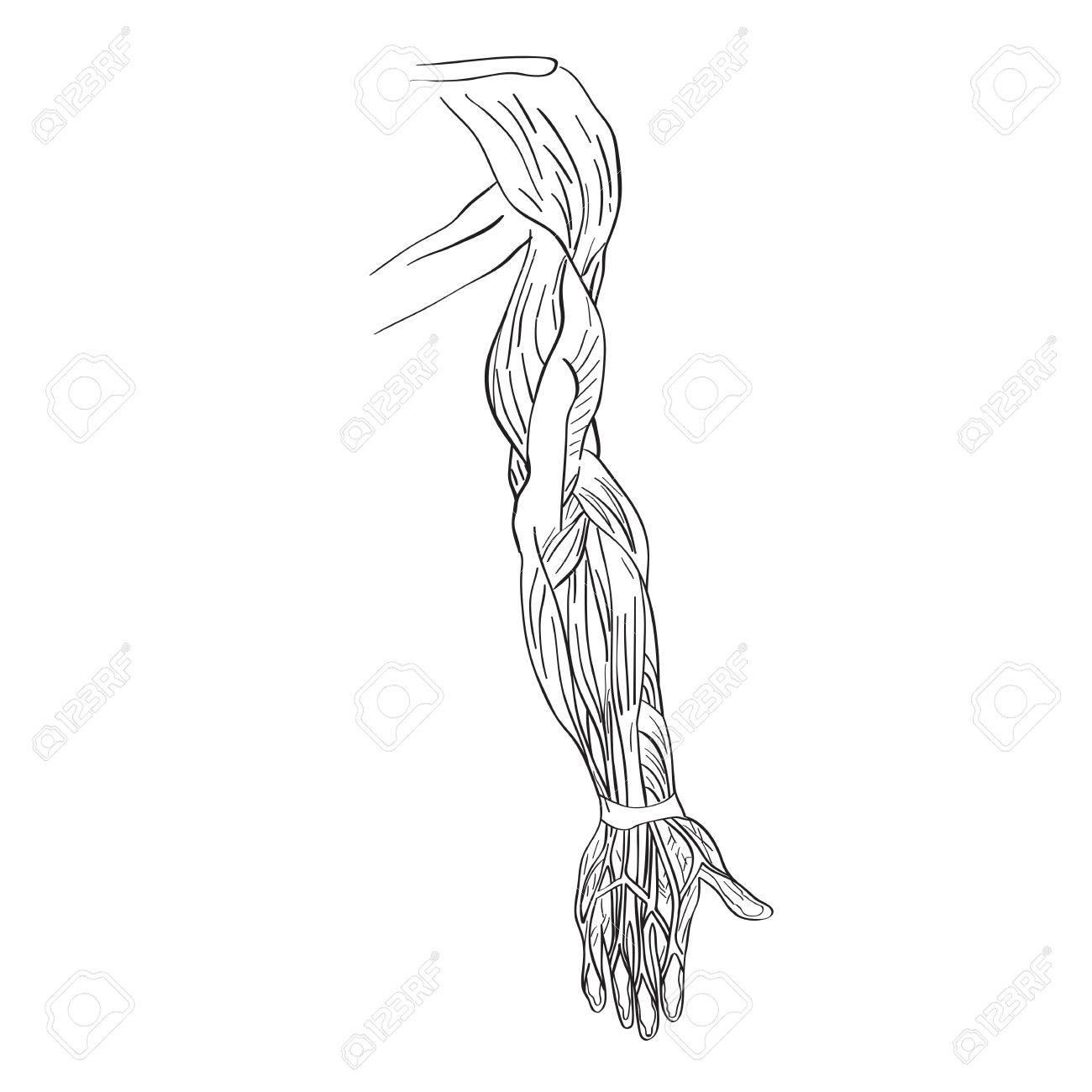 Darstellung der Armmuskeln, künstlerische Anatomie Grafik Studie