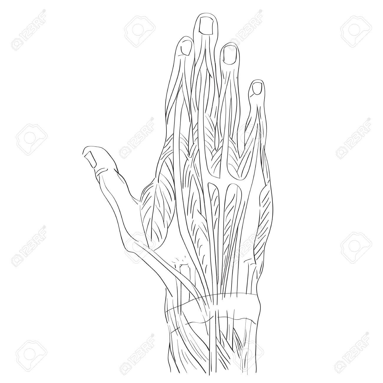 Sketch Illustration Of The Hand Muscles Isolated On White, Artistic ...