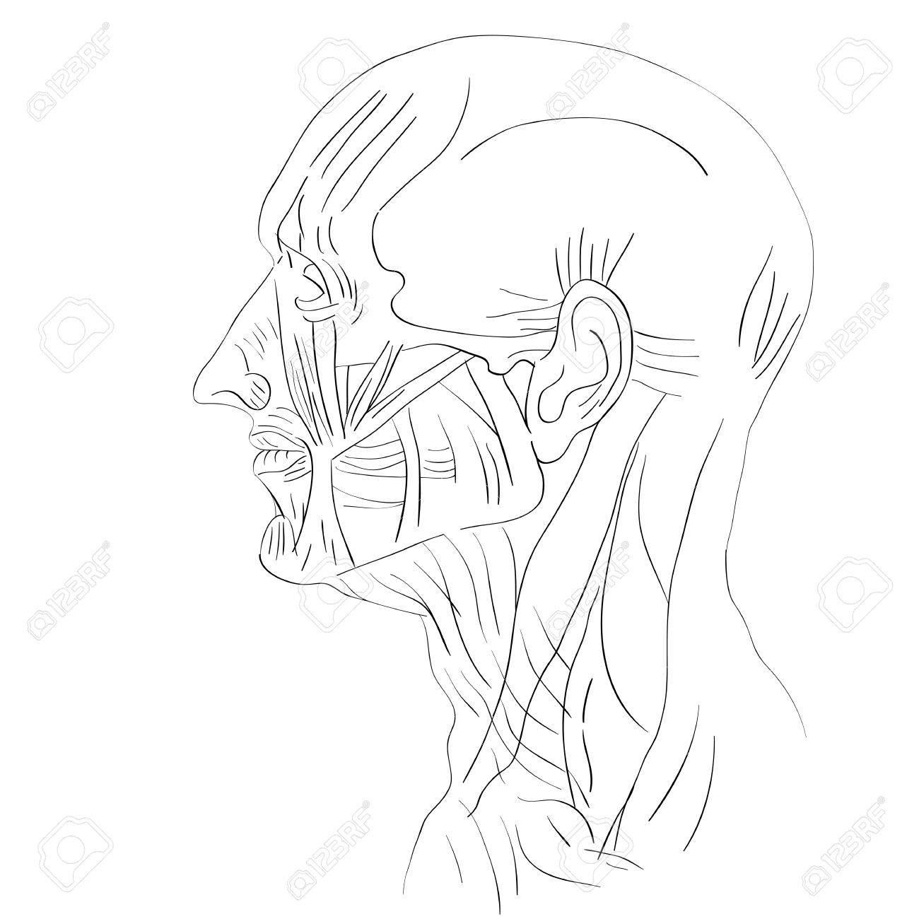 Illustration Der Menschlichen Kopfmuskeln Isoliert Auf Weiß ...
