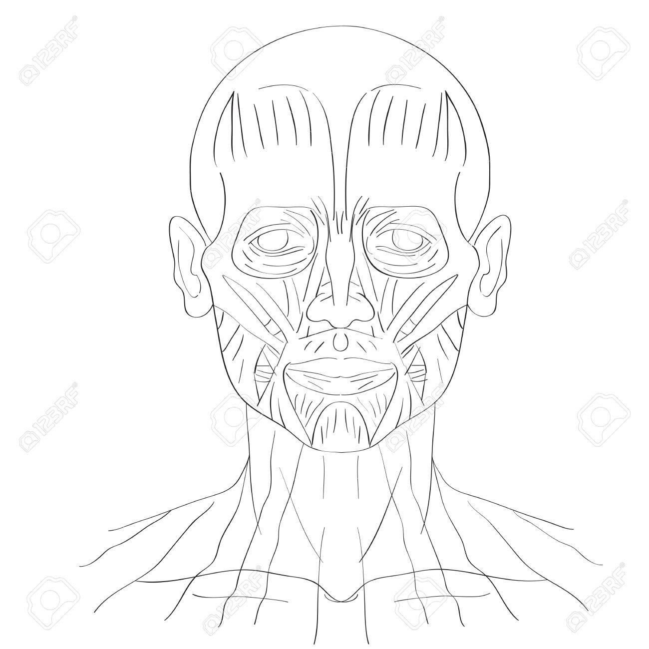 Erfreut Gesichtsmuskeln Bilder - Menschliche Anatomie Bilder ...