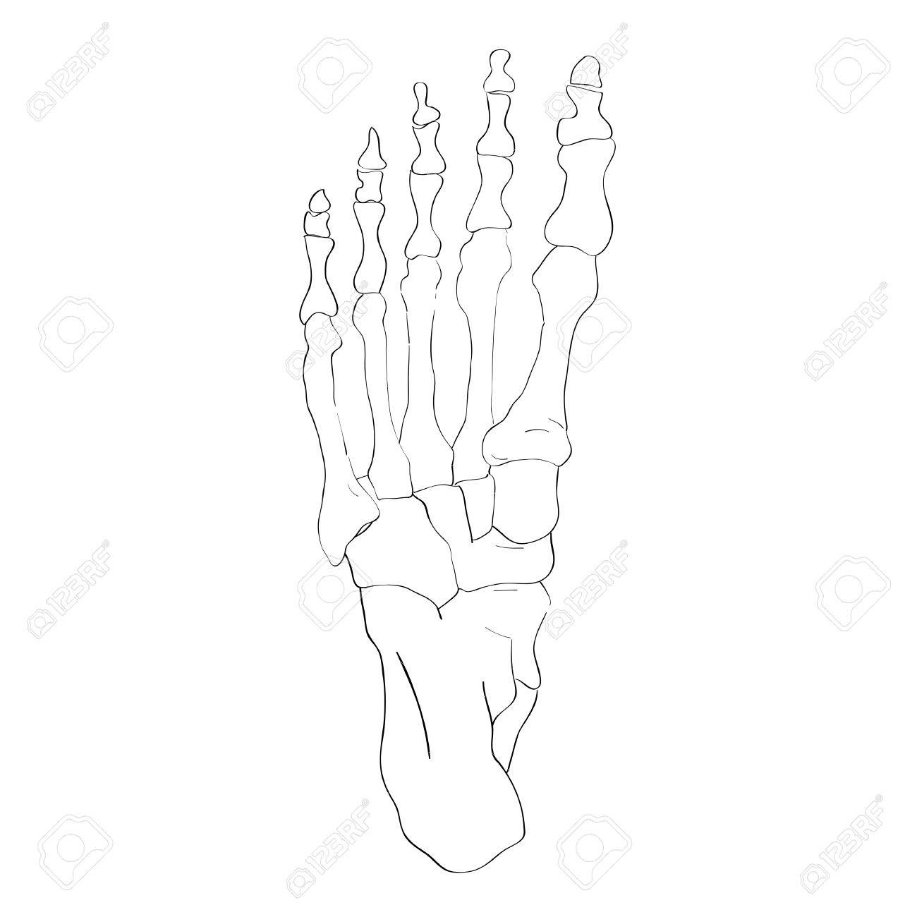 Illustration Of The Foot Bones Isolated On White Artistic Anatomy