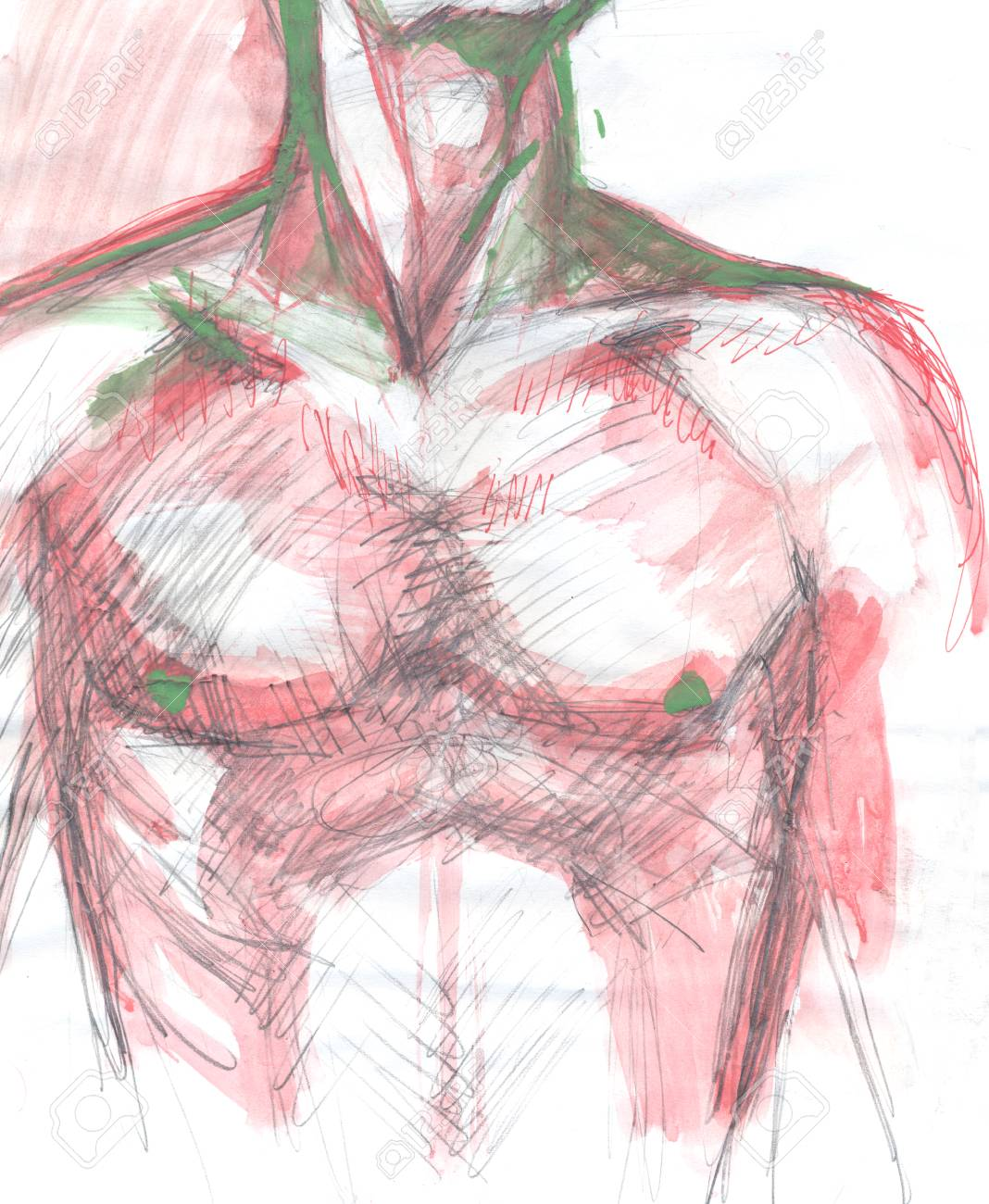 Hand Drawn Colored Illustration Of A Human Male Chest Original