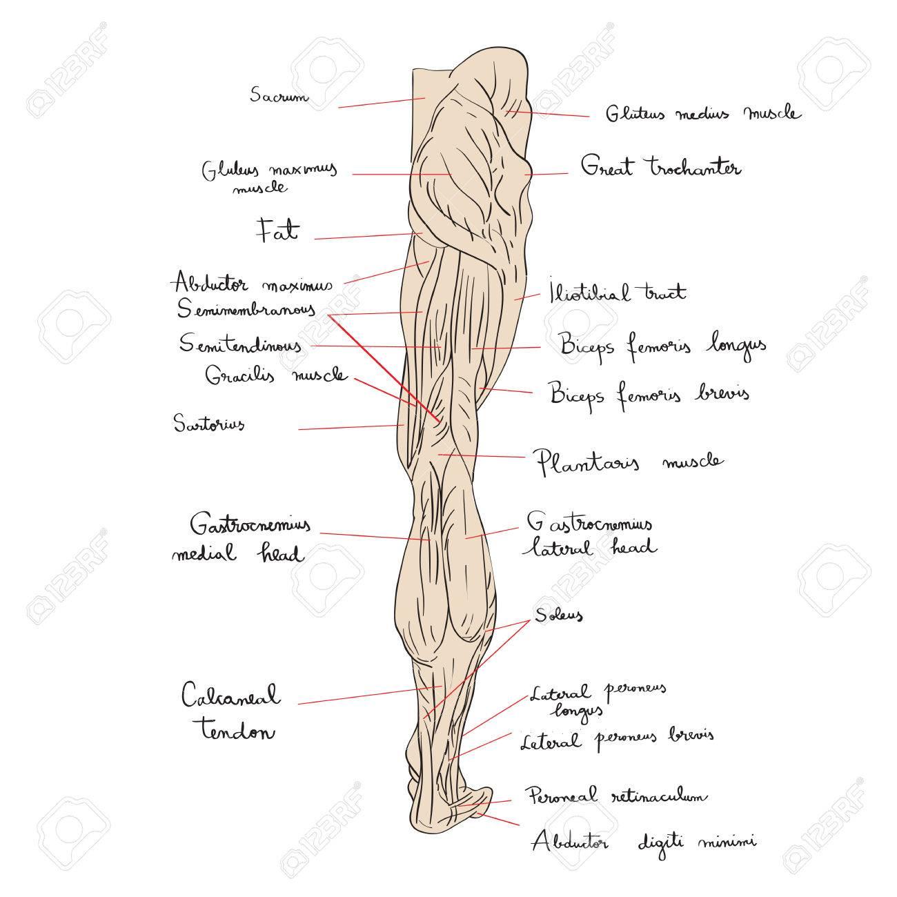 Hand Gezeichnet Illustration Der Bein Muskeln Isoliert Auf Weiß ...