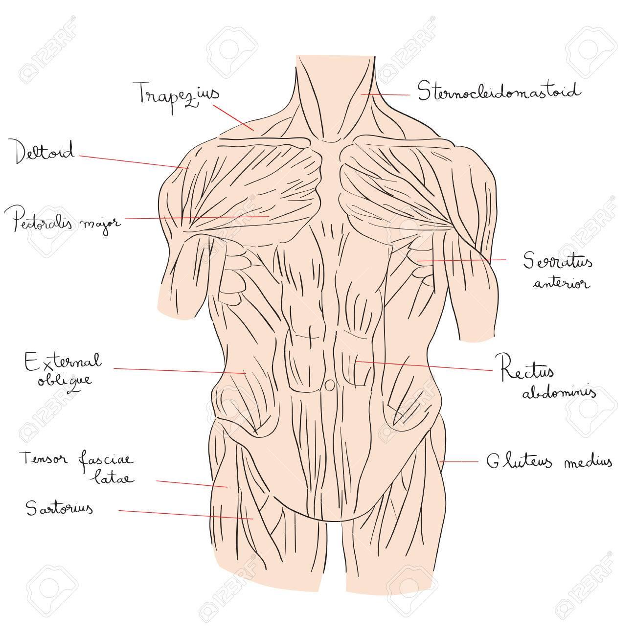 Ilustración Dibujada A Mano De Los Músculos Del Torso Aislados En ...