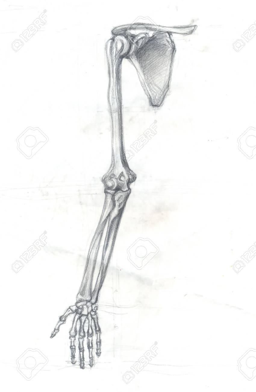 Ilustración De Dibujado A Mano De Una Parte Del Esqueleto Humano ...