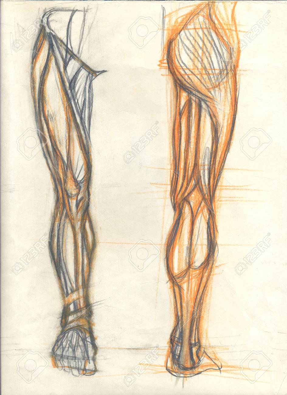 Ilustración Dibujada A Mano De Los Músculos De Las Piernas, Esbozos ...