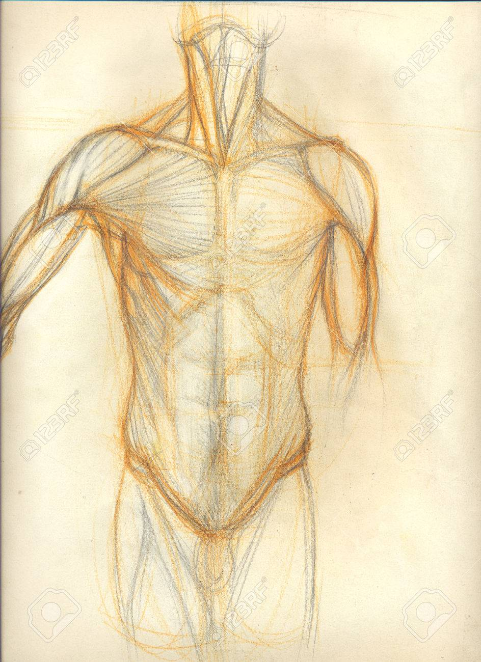 Hand Drawn Colored Illustration Of The Torso Muscles Original