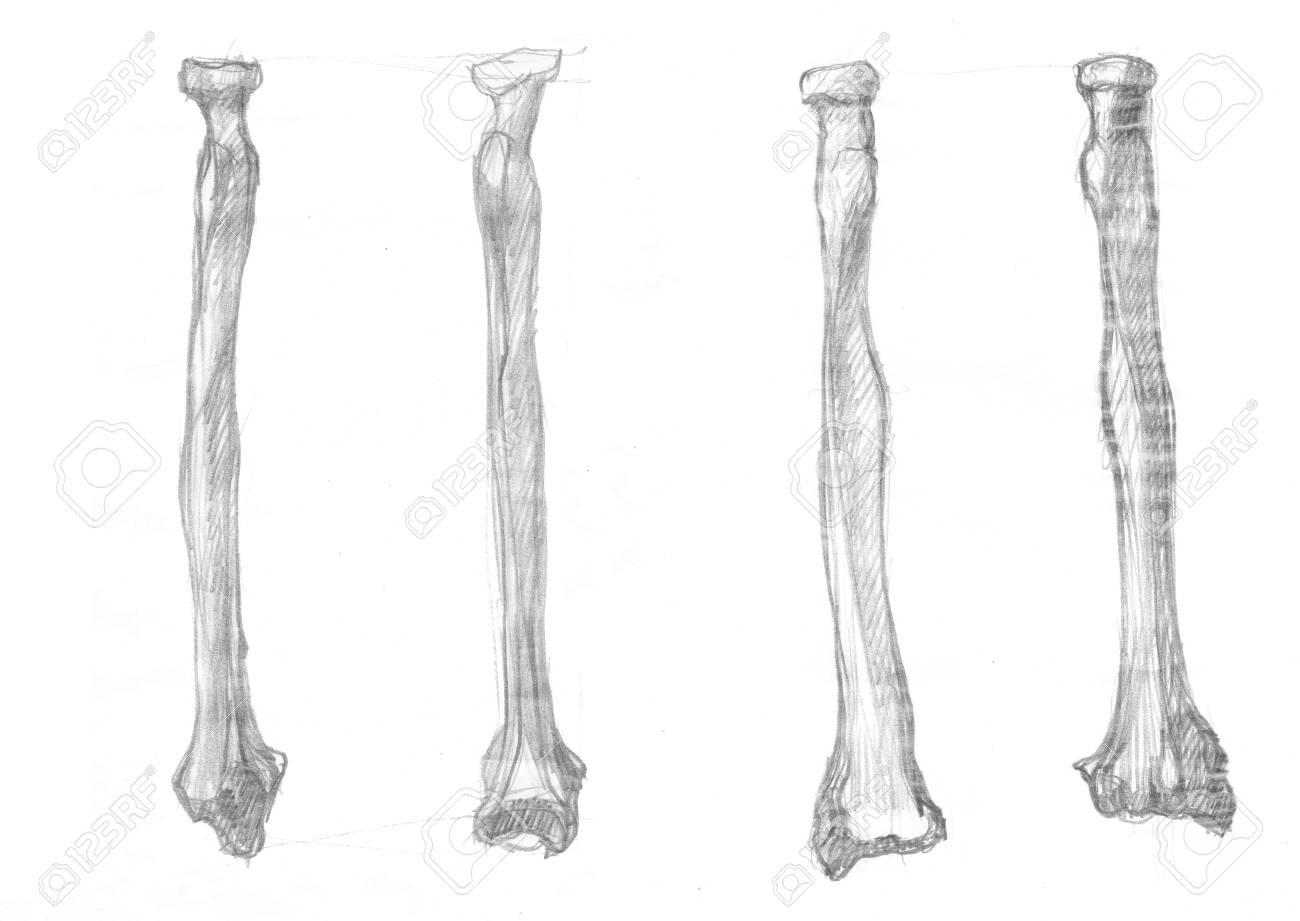 Großartig Unterarm Knochen Ideen - Physiologie Von Menschlichen ...