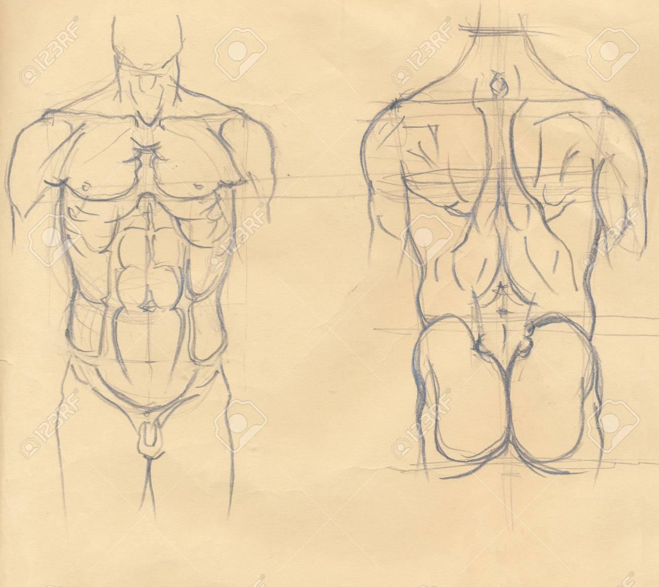 Mano Dibuja La Ilustración De Los Músculos Del Torso, Bocetos ...