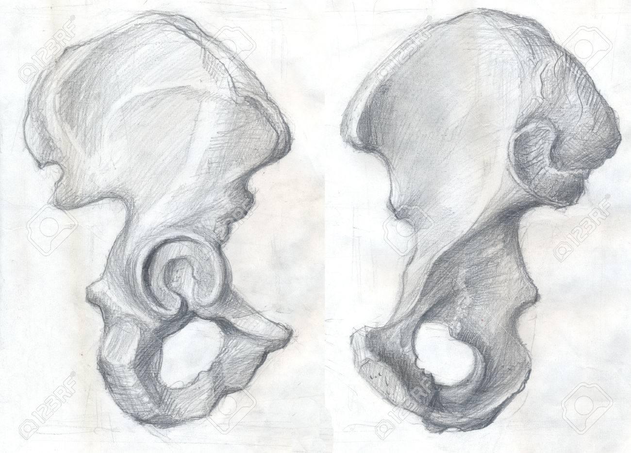 Hand Drawn Illustrations Of The Hip Bone Original Artistic Pencil