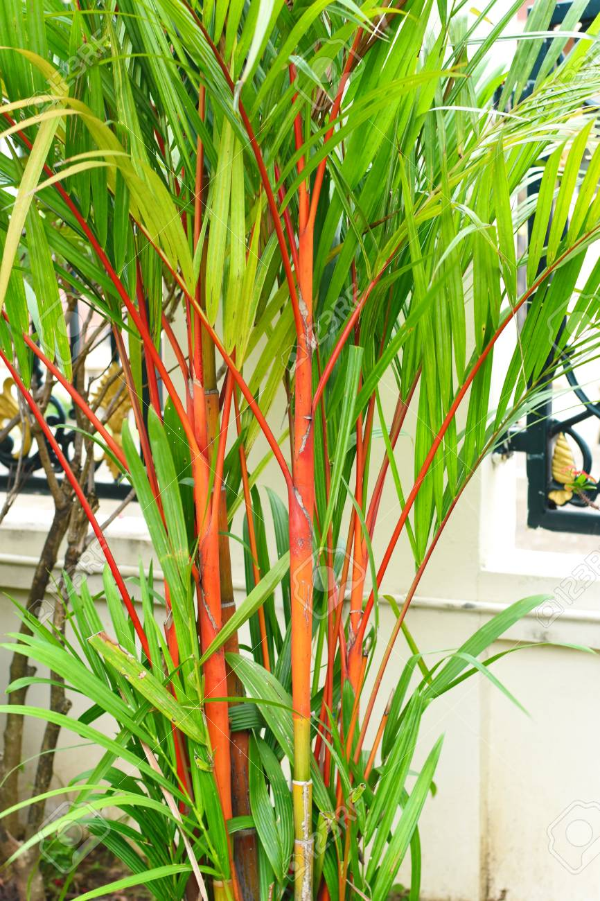 Red And Green Bamboo Tree Stock Photo Picture And Royalty Free Image Image 99440607