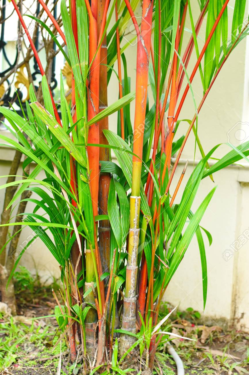 Red And Green Bamboo Tree Stock Photo Picture And Royalty Free Image Image 99447793