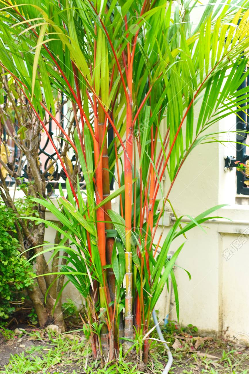 Red And Green Bamboo Tree Stock Photo Picture And Royalty Free Image Image 99470873