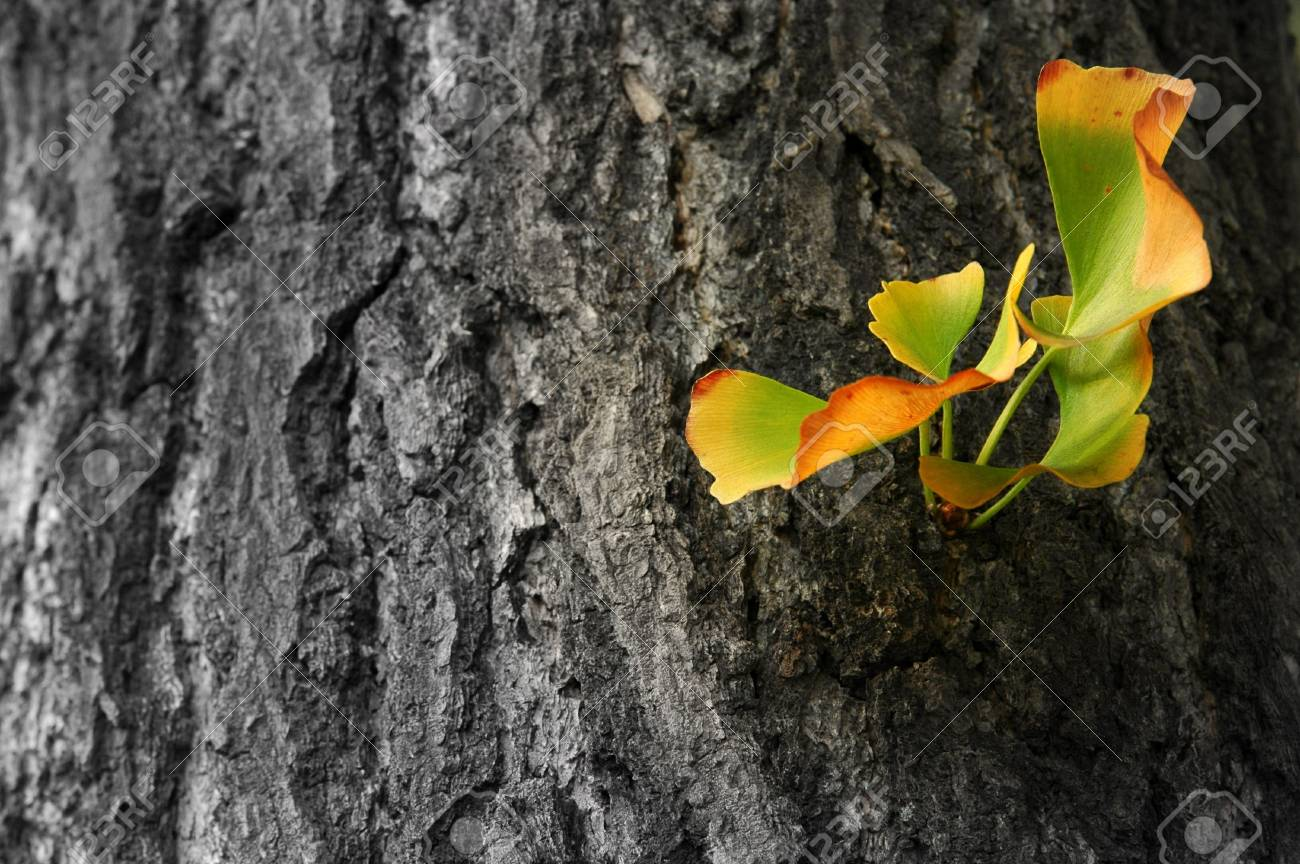 Autumn Ginkgo Biloba leaves Stock Photo - 2204438
