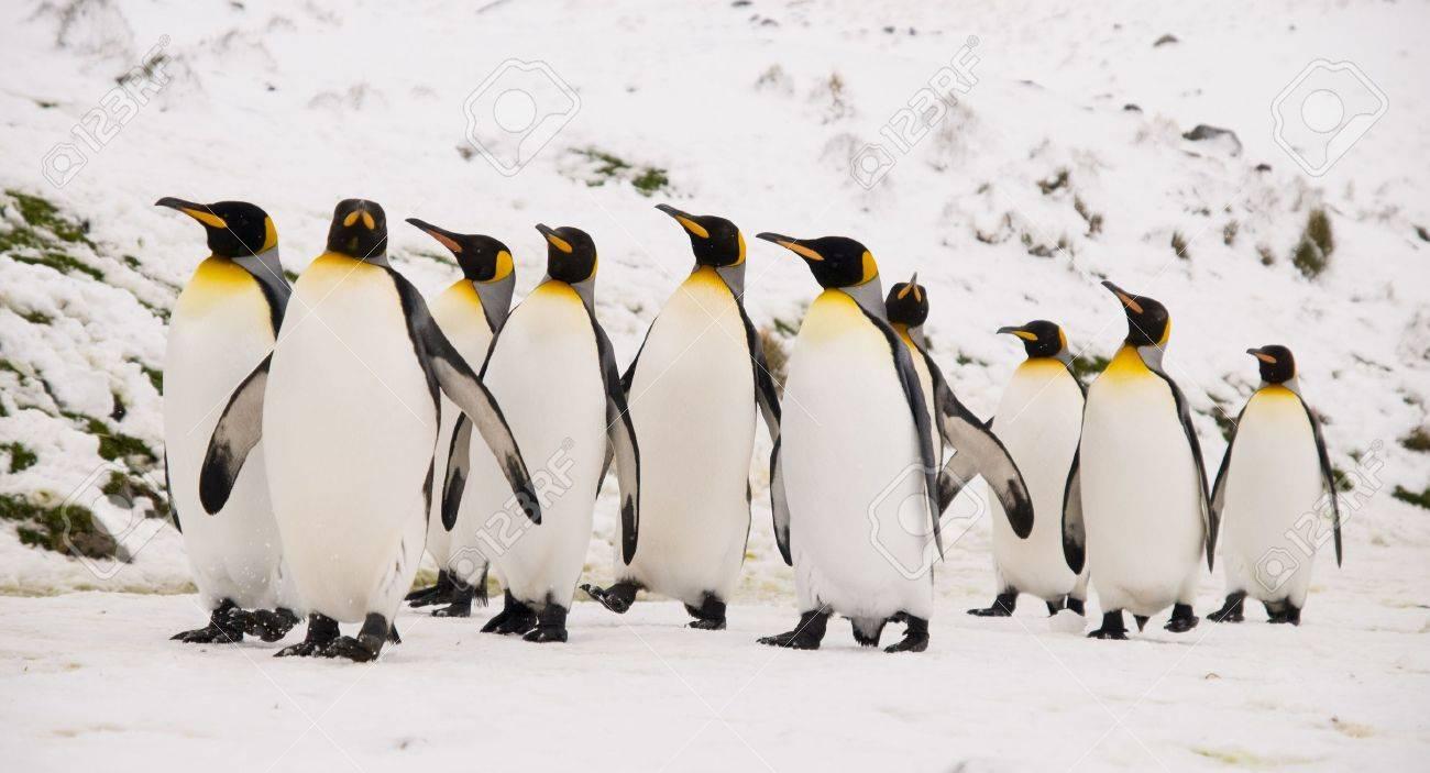 King Penguins marching together - 4329513