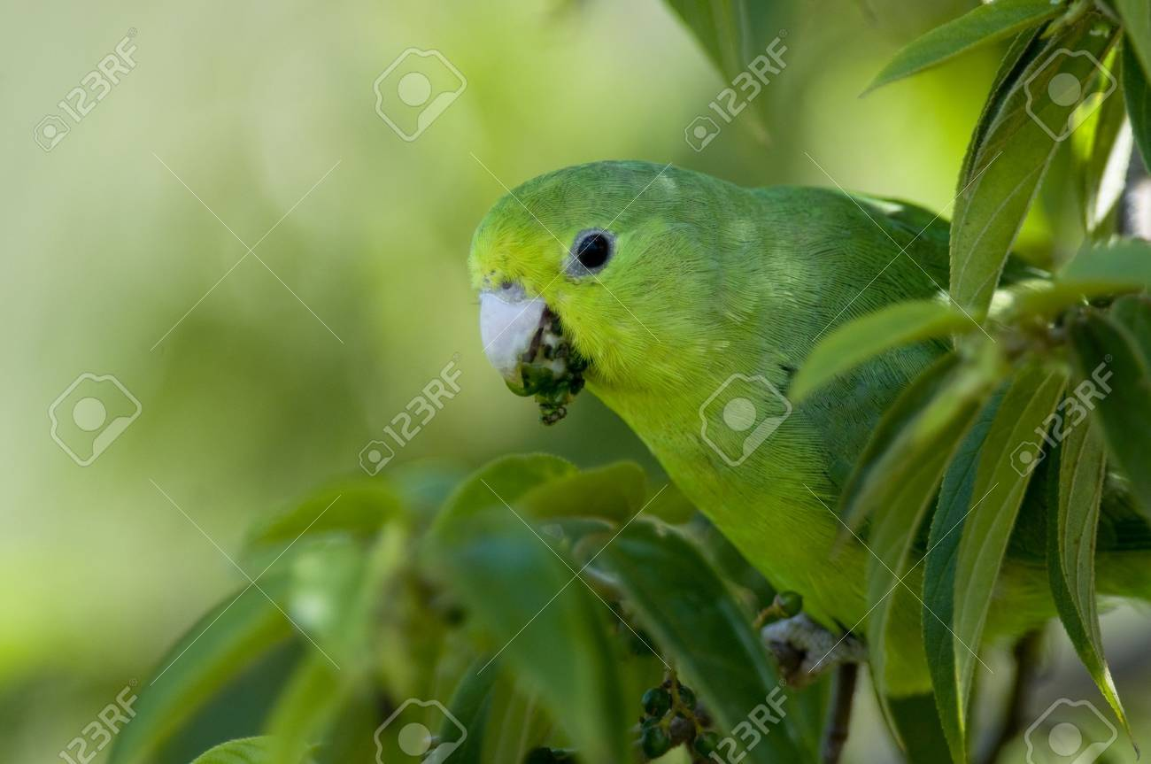 Winged Parrotlet a Blue-winged Parrotlet