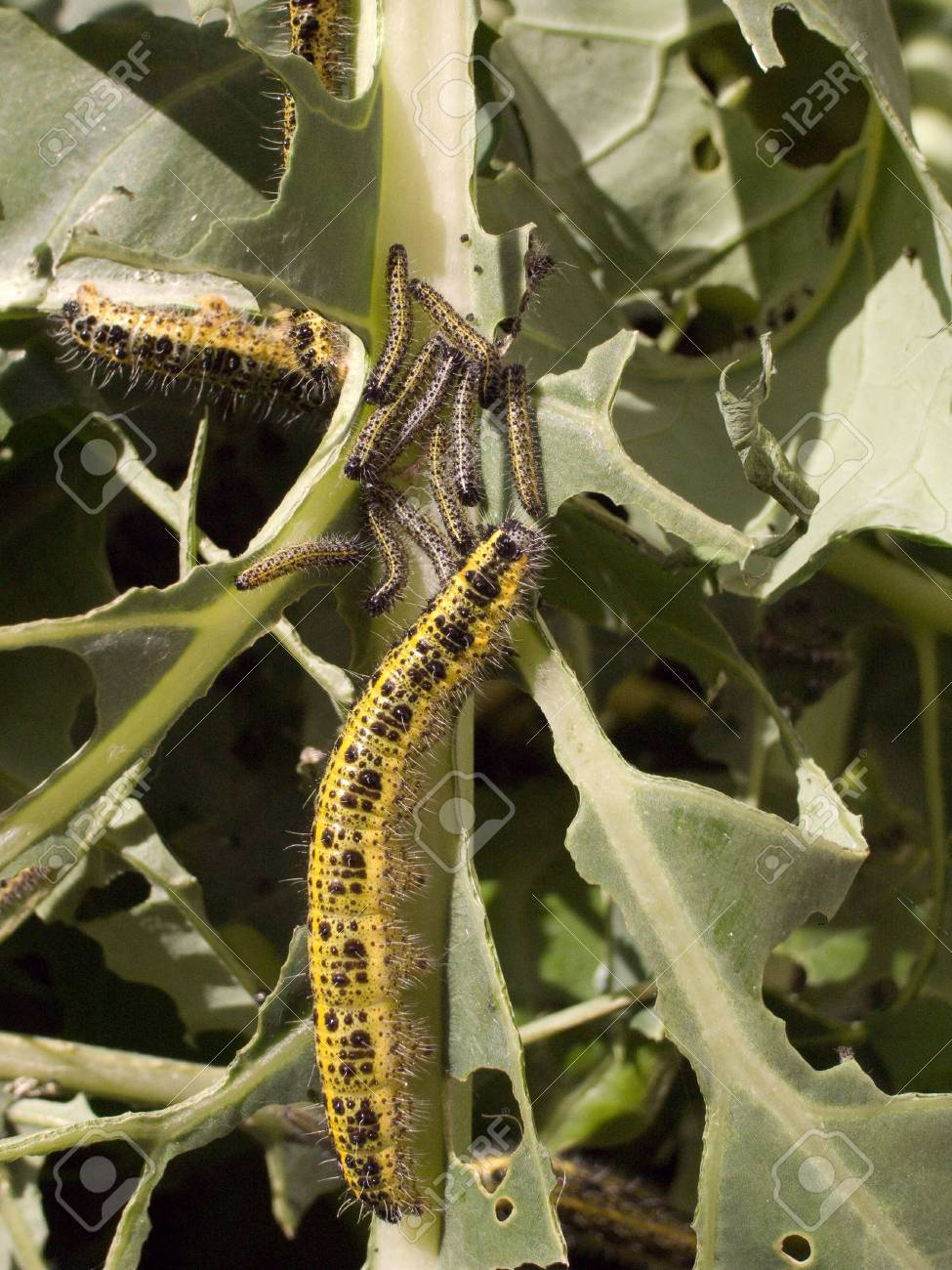 Caterpillars of the large white butterfly destroy brassica crop. Stock Photo - 5500206