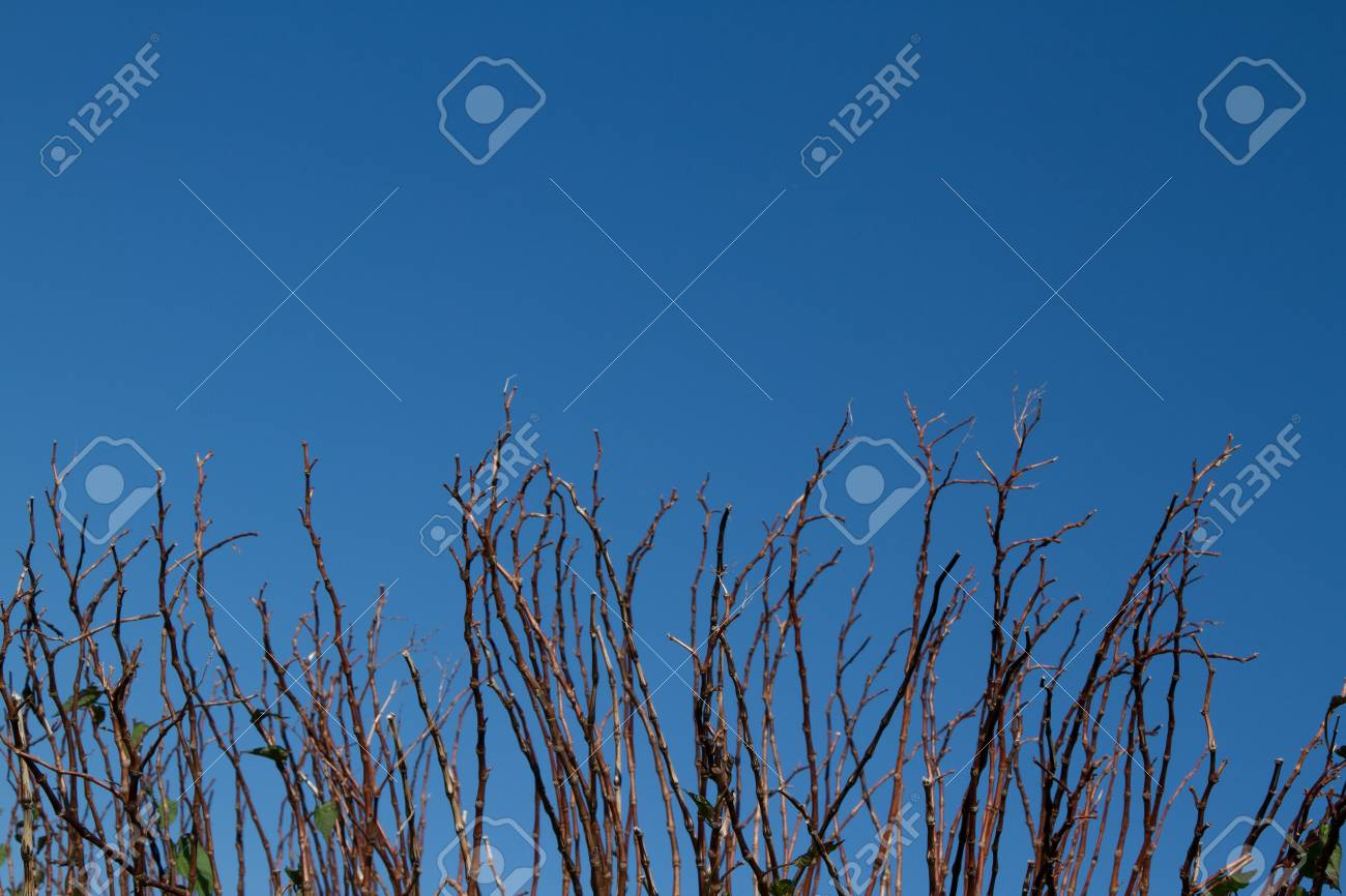The branches, twigs of a shrub arranged vertically against a clear blue sky. Stock Photo - 13858689