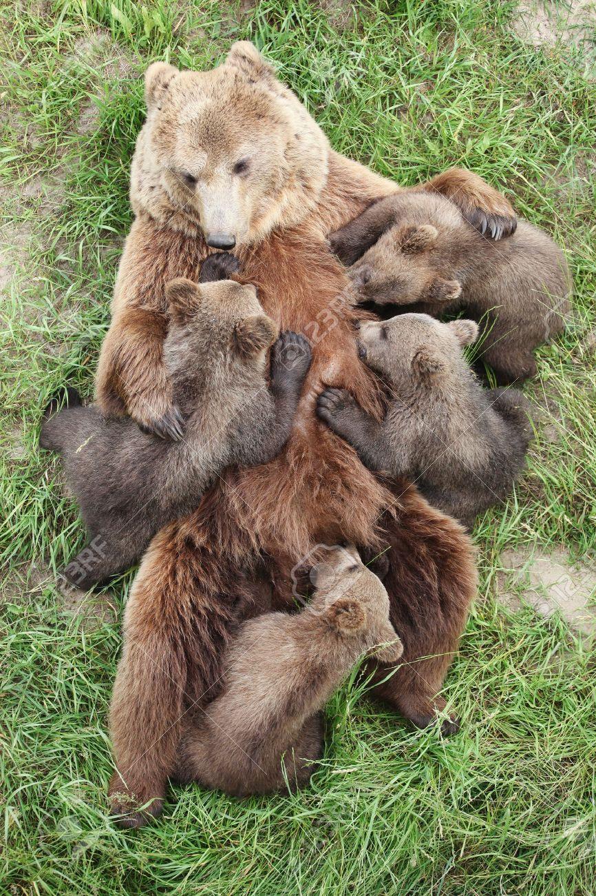 Baby Brown Bear