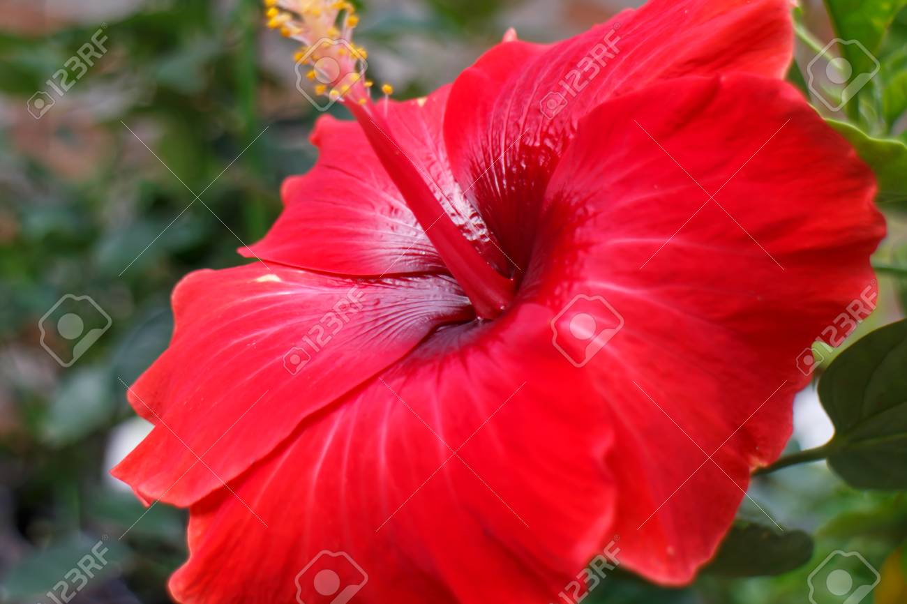 Big Rare Tropical Red Flower Stock Photo Picture And Royalty Free