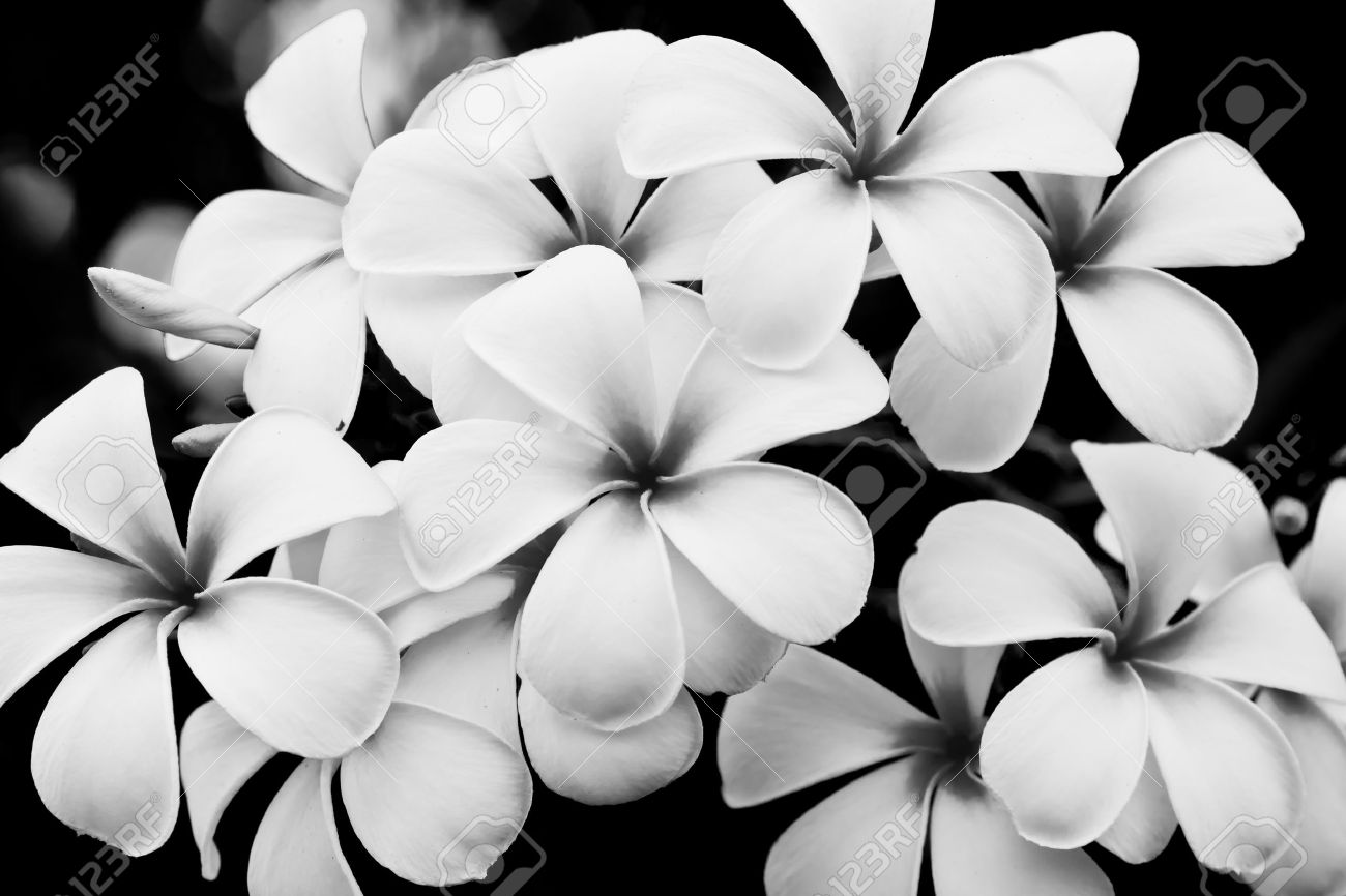 The Black And White Image Of The Plumeria Flowers Stock Photo