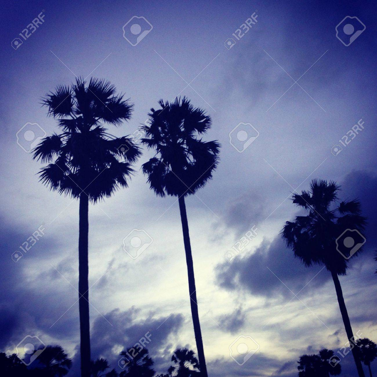 The toddy palms in the evening - 21342142